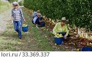 Group of farmers harvesting bruised apples, working together in fruit orchard. Стоковое видео, видеограф Яков Филимонов / Фотобанк Лори
