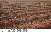 Купить «Image of plantation of cultivated garlic in the vegetable garden outdoor», видеоролик № 33369389, снято 10 апреля 2020 г. (c) Яков Филимонов / Фотобанк Лори