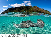 Snorkeling with Pink Whipray in Lagoon, Pateobatis fai, Moorea, French Polynesia. Стоковое фото, фотограф Reinhard Dirscherl / age Fotostock / Фотобанк Лори