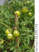 Купить «Зеленые помидоры растут на грядке в огороде», фото № 33375173, снято 15 июля 2019 г. (c) Елена Коромыслова / Фотобанк Лори