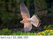 Купить «Kestrel (Falco tinnunculus) female in flight, Germany, April.», фото № 33386181, снято 30 марта 2020 г. (c) Nature Picture Library / Фотобанк Лори