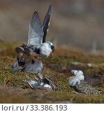 Купить «Ruff (Philomachus pugnax) territorial male fighting with satellite males during lek, Varanger, Norway, May», фото № 33386193, снято 9 апреля 2020 г. (c) Nature Picture Library / Фотобанк Лори