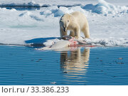Купить «Polar bear (Ursus maritimus) feeding on dead beluga whale carcass, in the pack ice near Kong Karls Land, Spitsbergen, Svalbard, Norway.July.», фото № 33386233, снято 29 марта 2020 г. (c) Nature Picture Library / Фотобанк Лори