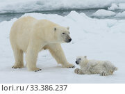 Купить «Female polar bear (Ursus maritimus) with cub, on pack ice, Spitsbergen, Svalbard, Norway.July.», фото № 33386237, снято 29 марта 2020 г. (c) Nature Picture Library / Фотобанк Лори