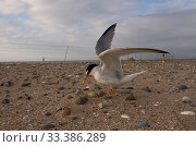 Little tern (Sterna albifrons) at nest after fishing, with electric fence for protection from predators. Denbighshire, Wales, UK. Стоковое фото, фотограф David  Woodfall / Nature Picture Library / Фотобанк Лори