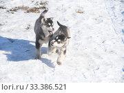 Купить «Бегущие щенки сибирской хаски», эксклюзивное фото № 33386521, снято 3 марта 2020 г. (c) syngach / Фотобанк Лори