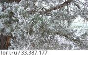 Купить «Ветви сосны зимним морозным днем», видеоролик № 33387177, снято 17 марта 2020 г. (c) Виктор Карасев / Фотобанк Лори