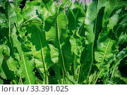Купить «Horseradish natural vegetable herbaceous medicinal plant grows on a bed in a garden. Growing and harvesting fresh green leaves. Useful food, spice, gardening, agriculture», фото № 33391025, снято 19 июня 2019 г. (c) Светлана Евграфова / Фотобанк Лори
