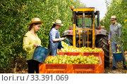 Farmers putting bruised apples in crate. Стоковое фото, фотограф Яков Филимонов / Фотобанк Лори