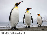 Купить «King penguins (Aptenodytes patagonicus) group of three on the shore, St. Andrews Bay, South Georgia. November.», фото № 33392213, снято 31 марта 2020 г. (c) Nature Picture Library / Фотобанк Лори