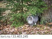 Зеленоглазый кот Мураново Green-eyed gray fluffy cat. Стоковое фото, фотограф Baturina Yuliya / Фотобанк Лори