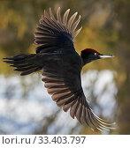 Купить «Black Woodpecker male (Dryocopus martius) Finland, February.», фото № 33403797, снято 4 июня 2020 г. (c) Nature Picture Library / Фотобанк Лори