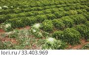 View of farm field planted with ripening green lettuce. Popular leafy vegetable crop. Стоковое видео, видеограф Яков Филимонов / Фотобанк Лори