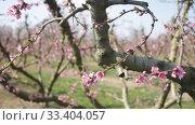 Купить «Beautiful blooming peach trees in spring garden», видеоролик № 33404057, снято 21 февраля 2020 г. (c) Яков Филимонов / Фотобанк Лори