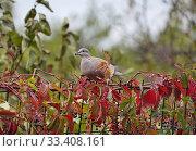 Купить «Кольчатая горлица клюёт ягоды дикого винограда», эксклюзивное фото № 33408161, снято 8 октября 2019 г. (c) Dmitry29 / Фотобанк Лори