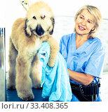 Купить «mature woman hairdresser wipes puppy of Afghan hound in hairdresser for dogs», фото № 33408365, снято 17 октября 2017 г. (c) Татьяна Яцевич / Фотобанк Лори
