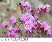 Купить «Closeup shot of Rhododendron dauricum flowers (popular names bagulnik; maralnik).», фото № 33410381, снято 29 апреля 2019 г. (c) Serg Zastavkin / Фотобанк Лори