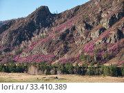 Купить «Mountain slopes covered by Rhododendron dauricum bushes with flowers (popular names bagulnik, maralnik).», фото № 33410389, снято 30 апреля 2019 г. (c) Serg Zastavkin / Фотобанк Лори