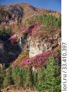 Купить «Mountain slopes covered by Rhododendron dauricum bushes with flowers (popular names bagulnik, maralnik).», фото № 33410397, снято 30 апреля 2019 г. (c) Serg Zastavkin / Фотобанк Лори