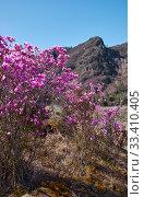 Купить «Rhododendron dauricum bushes with flowers (popular names bagulnik, maralnik) with altai river Katun and mountains on background.», фото № 33410405, снято 30 апреля 2019 г. (c) Serg Zastavkin / Фотобанк Лори