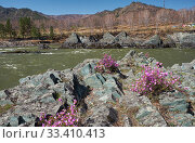 Купить «Rhododendron dauricum bushes with flowers (popular names bagulnik, maralnik) with altai river Katun and mountains on background.», фото № 33410413, снято 30 апреля 2019 г. (c) Serg Zastavkin / Фотобанк Лори