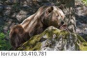 Brown Bear (Ursus arctos) lying down on rock. Tier-Freigelande, Altschonau, Bayerisher Wald National Park, Bavaria, Germany. Captive. Стоковое фото, фотограф Roger Powell / Nature Picture Library / Фотобанк Лори