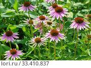 Купить «Эхинацея пурпурная (лат. Echinacea purpurea) цветет в саду», фото № 33410837, снято 21 июля 2019 г. (c) Елена Коромыслова / Фотобанк Лори