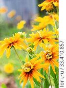 Купить «Yellow sunflowers Rudbeckia in summer garden», фото № 33410857, снято 31 июля 2019 г. (c) Papoyan Irina / Фотобанк Лори