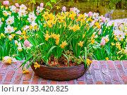 Купить «Yellow narcissus in a flower pot», фото № 33420825, снято 5 июня 2020 г. (c) easy Fotostock / Фотобанк Лори