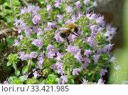Купить «Шмель собирает нектар на цветущем тимьяне (лат.Thymus serpyllum)», фото № 33421985, снято 23 июня 2019 г. (c) Елена Коромыслова / Фотобанк Лори