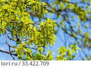 Купить «Цветущий дуб черешчатый (Quercus robur), солнечный день в мае. Аптекарский Огород (филиал ботанического сада МГУ), Москва.», фото № 33422709, снято 6 мая 2019 г. (c) Сергей Рыбин / Фотобанк Лори