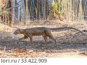 Fosa or Fossa (Cryptoprocta ferox) male walking through dry deciduous... Редакционное фото, фотограф Nick Garbutt / Nature Picture Library / Фотобанк Лори