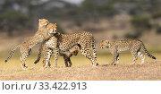 Купить «Cheetah (Acinonyx jubatus) female playing with three cubs (age 5 months) Ndutu area, Serengeti / Ngorongoro Conservation Area (NCA), Tanzania.», фото № 33422913, снято 9 апреля 2020 г. (c) Nature Picture Library / Фотобанк Лори