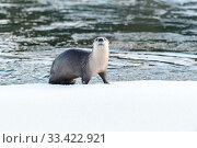 Купить «North American river otter (Lutra canadiensis) on the frozen river edge. Upper Yellowstone River, Hayden Valley, Yellowstone, USA. January», фото № 33422921, снято 30 мая 2020 г. (c) Nature Picture Library / Фотобанк Лори