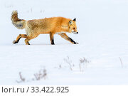 Red fox (Vulpes vulpes) walking through deep winter snow. Hayden Valley, Yellowstone, USA. January. Стоковое фото, фотограф Nick Garbutt / Nature Picture Library / Фотобанк Лори