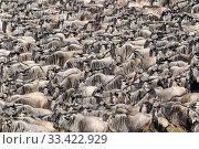 Herds of White-bearded wildebeest (Connochaetes taurinus albojubatus) waiting to cross the Mara River. Northern Serengeti, Serengeti National Park, Tanzania. Стоковое фото, фотограф Nick Garbutt / Nature Picture Library / Фотобанк Лори