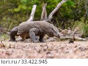 Купить «Komodo dragon (Varanus komodoensis) male. Rinca Island, Komodo National Park, Indonesia. Endangered.», фото № 33422945, снято 30 мая 2020 г. (c) Nature Picture Library / Фотобанк Лори