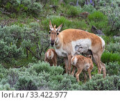 Pronghorn (Antilicarpa americana) female with twin calves, amognst Silver sagebrush (Artemisia cana) Lamar Valley, Yellowstone National Park, Wyoming, USA, June. Стоковое фото, фотограф Mike Read / Nature Picture Library / Фотобанк Лори