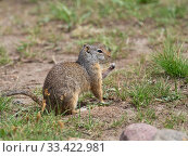 Uinta ground squirrel (Spermophilus armatus) feeding on grass stem, Lamar Valley, Yellowstone National Park, Wyoming, USA, June. Стоковое фото, фотограф Mike Read / Nature Picture Library / Фотобанк Лори