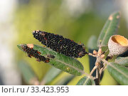 Купить «Aphids (Lachnus roboris), adults and eggs on a leaves of evergreen oak. This photo was taken in Sant Miquel del Fai, Barcelona province, Catalonia, Spain.», фото № 33423953, снято 8 декабря 2011 г. (c) age Fotostock / Фотобанк Лори