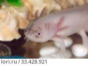 Купить «Axolotl in water closeup», фото № 33428921, снято 11 марта 2014 г. (c) Argument / Фотобанк Лори