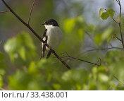 Купить «Pied Flycatcher (Ficedula hypoleuca). Botkyrka, Stockholm, Sweden.», фото № 33438001, снято 5 мая 2019 г. (c) age Fotostock / Фотобанк Лори