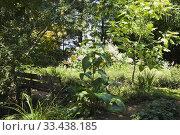 Купить «Wooden sitting bench and Catalpa bungei - Manchurian Catalpa tree in backyard garden in summer, Jardin du Grand Portage garden, Saint-Didace, Lanaudiere...», фото № 33438185, снято 19 августа 2012 г. (c) age Fotostock / Фотобанк Лори