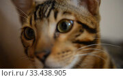 Купить «Bengal kitten calm home at home closeup», видеоролик № 33438905, снято 26 марта 2020 г. (c) Mikhail Erguine / Фотобанк Лори