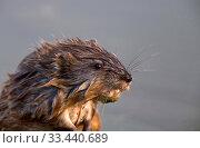 Купить «Close up Muskrat wet and in swamp Canada», фото № 33440689, снято 8 апреля 2020 г. (c) age Fotostock / Фотобанк Лори