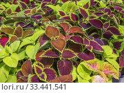 Купить «Mix of burgundy and green Solenostemon - Coleus plants being grown organically in containers inside a greenhouse.», фото № 33441541, снято 30 мая 2018 г. (c) age Fotostock / Фотобанк Лори