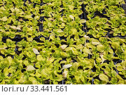 Купить «Lactuca sativa - Boston Lettuce plants being grown organically in black plastic containers outdoors in full sun.», фото № 33441561, снято 30 мая 2018 г. (c) age Fotostock / Фотобанк Лори