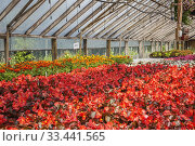 Купить «Red, white and pink Begonia, orange, yellow Tagetes - Marigold flowers being grown organically in containers inside a polyethylene film commercial greenhouse.», фото № 33441565, снято 30 мая 2018 г. (c) age Fotostock / Фотобанк Лори