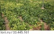 Купить «Plantation of fresh spinach in orangery», видеоролик № 33445161, снято 29 октября 2019 г. (c) Яков Филимонов / Фотобанк Лори