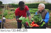 Купить «Two positive gardeners talking together near crate with vegetables in garden outdoor», видеоролик № 33445205, снято 10 апреля 2020 г. (c) Яков Филимонов / Фотобанк Лори